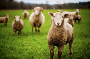 Without a shepherd, the sheep are lost.